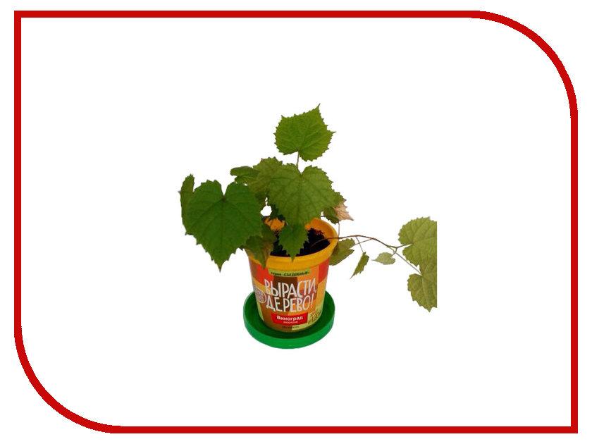 Растение Вырасти дерево! Виноград Амурский zk-057