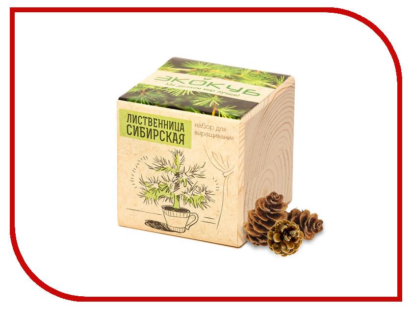 Растение Экокуб Лиственница Сибирская ECB-01-07