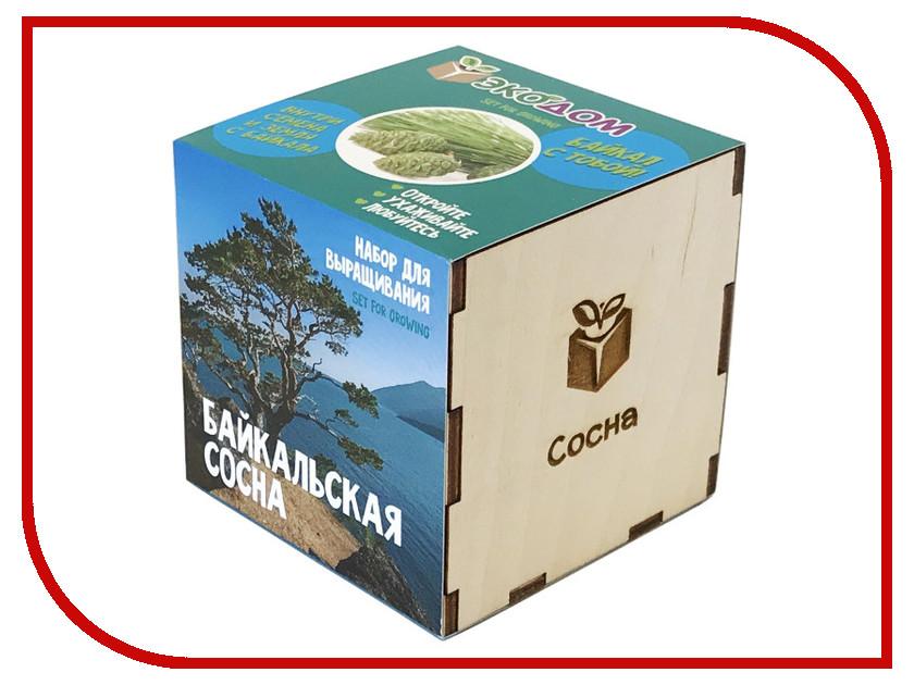 Растение ЭкоДом Сосна Байкальская 1061843804629 растение экодом лаванда 1061843804452