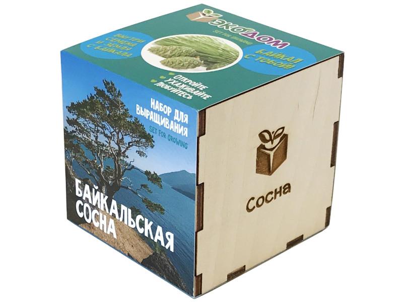 Растение ЭкоДом Сосна Байкальская 1061843804629